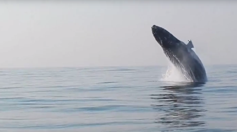 Divers Capture Stunning Rare Footage Of A Tonne Humpback Whale - Rare moment 40 ton whale jumps completely out of the water