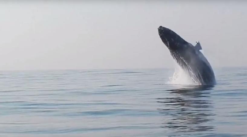 Humpback whales jumping