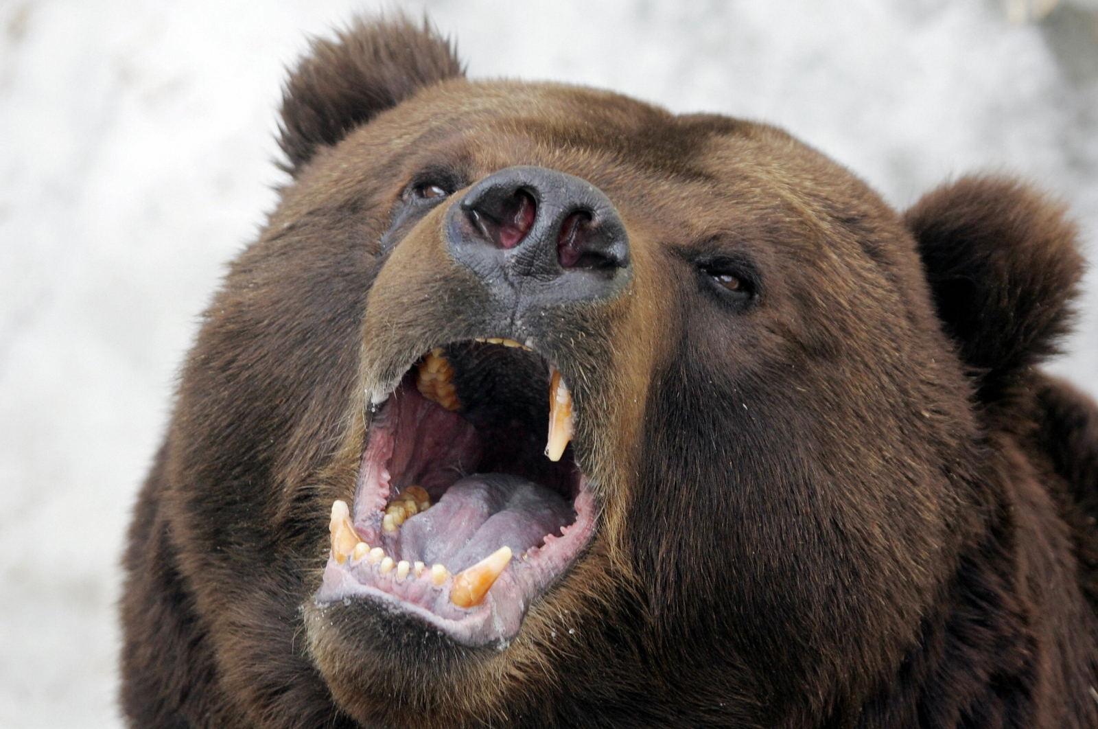 bear being hunted in alps for trying to tear out lone hiker u0027s throat