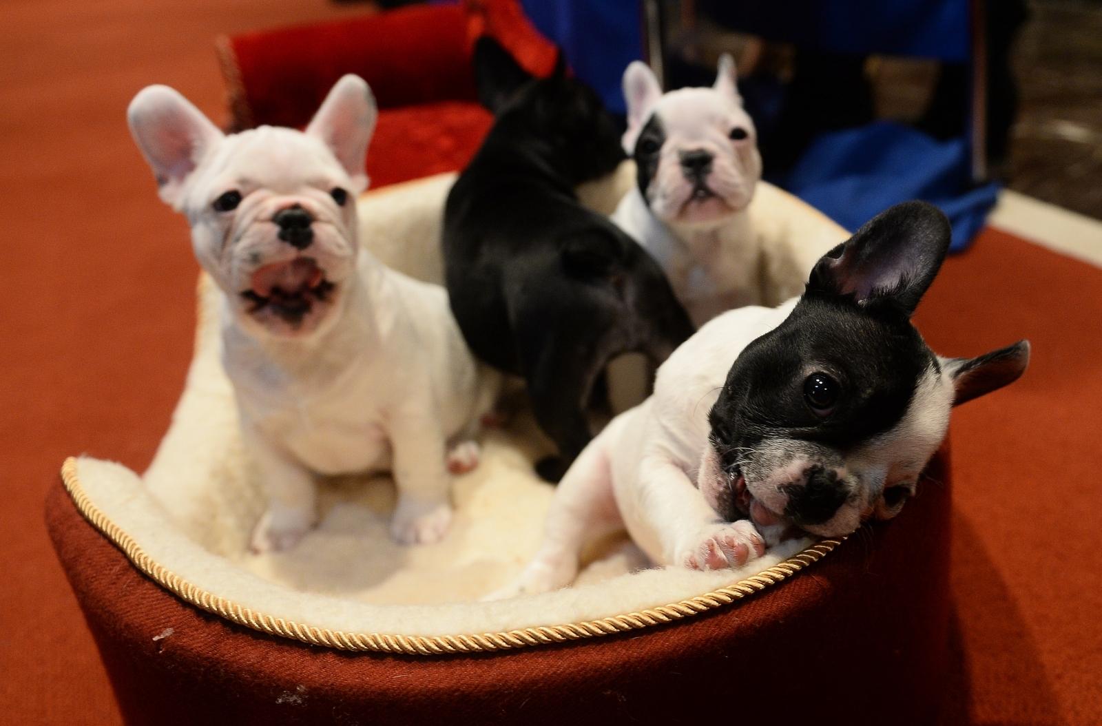 american french bulldog - photo #32