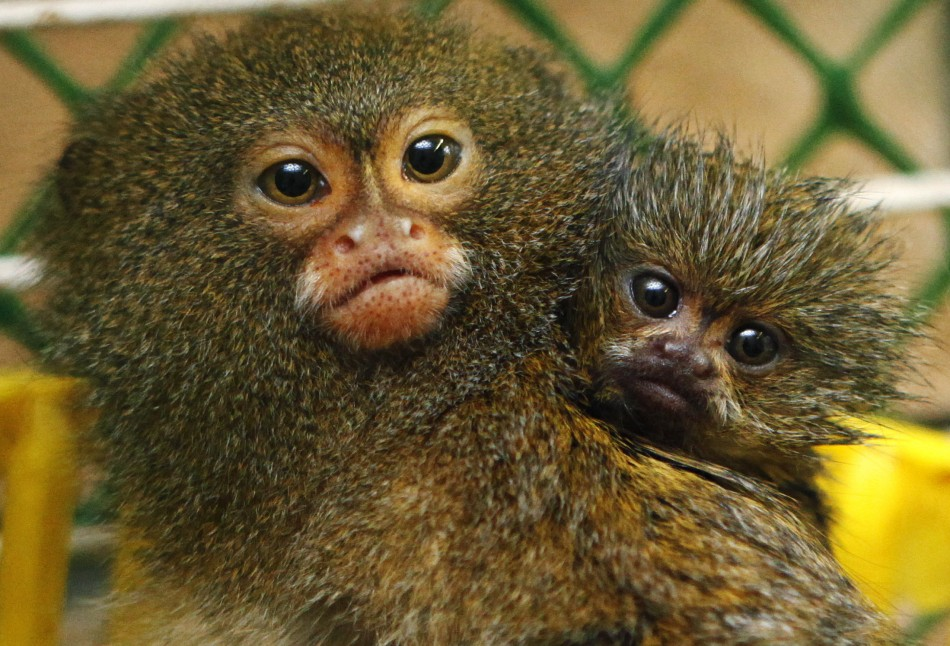 Two month old baby peer out from their cage at the royev ruchey zoo