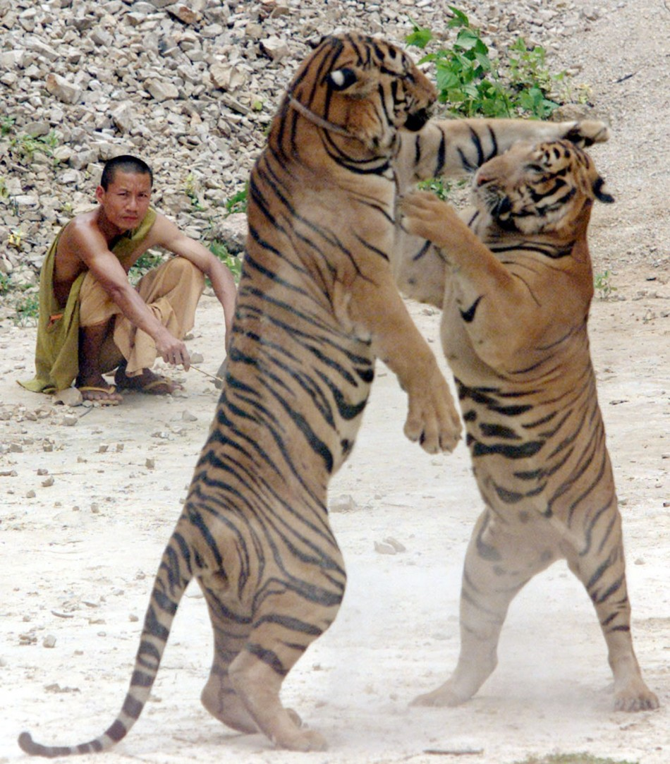'Tiger Temple' in Thailand is Growing Tourism Hot Spot ...