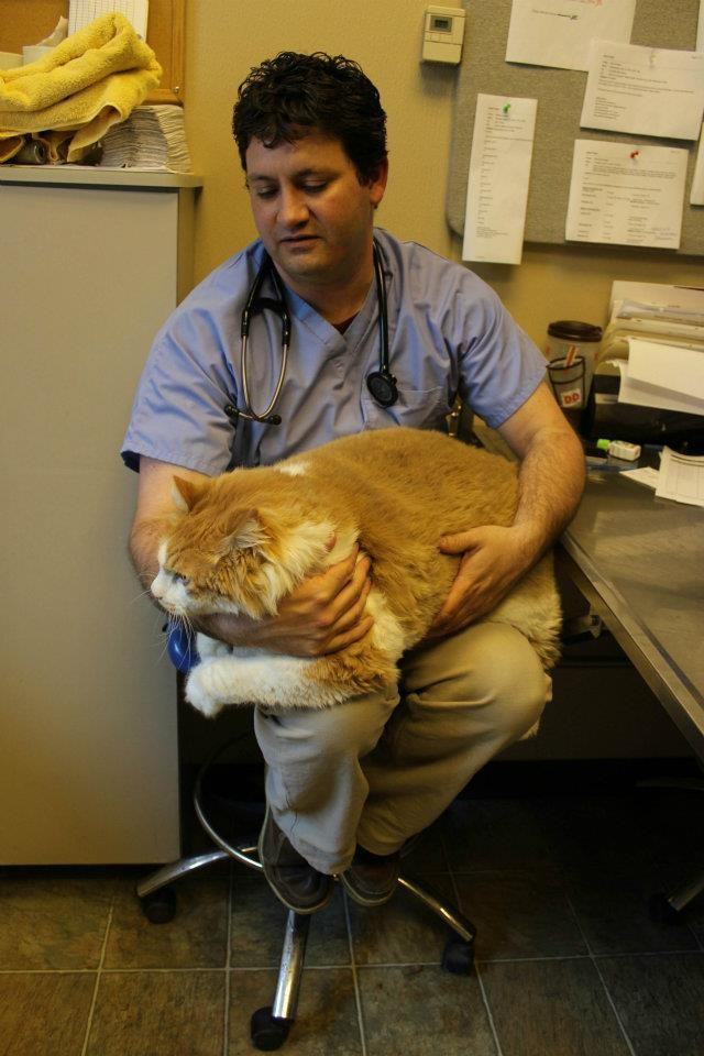 Fattest Cat in The World 2013 Fattest Cat in The World