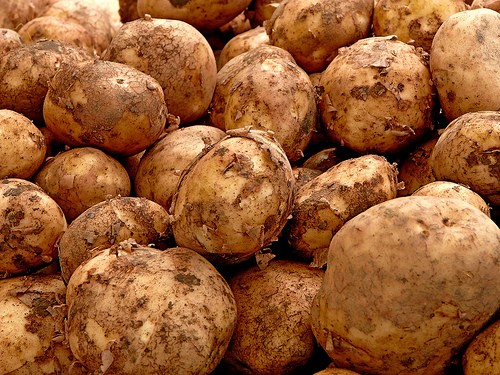 the humble beginnings of the irish potato The history of the potato in irish cuisine and culture máirtín mac  number of quintessentially irish potato dishes including boxty, champ, and colcannon  have their own peculiar fashion of processing the humble tuber.