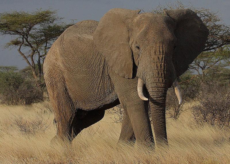Namibia desert elephants 39 legally 39 hunted to solve human animal conflict - Image elephant ...