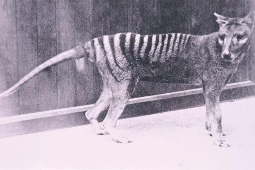 Australian Thylacine