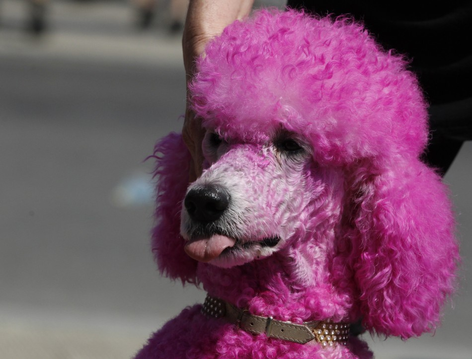 Gay Oregon Couple Attacked for 'Un-American' Pink Poodle