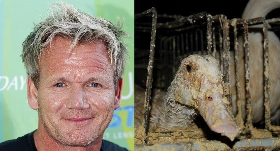 Gordan Ramsay In Trouble After Peta Video Exposes Cruelty Against Ducks