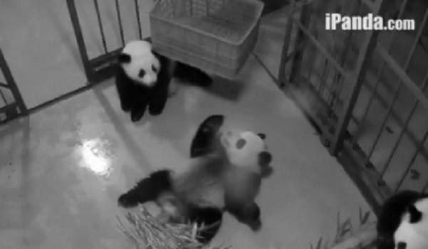 Giant Panda Channel Giant Pandas on The Ipanda.com