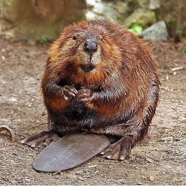 American Beaver  Beaver