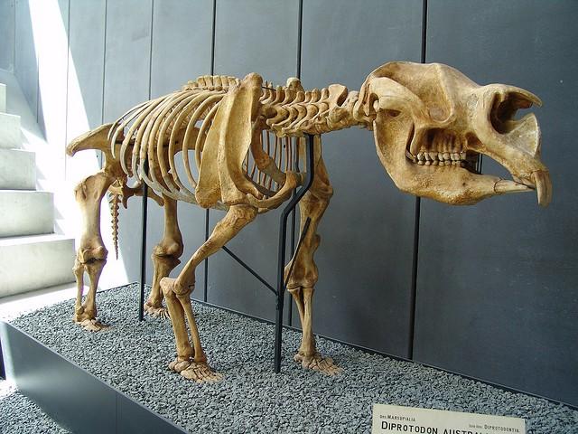 wombat fossil   big  volkswagen beetle