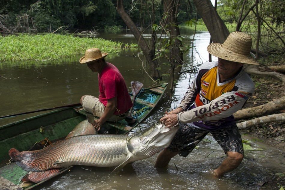 The arapaima catching brazil 39 s living fossils photos for Longest living fish