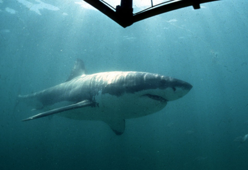 Scientists Points to Dwindling Shark Numbers in Great Barrier Reef