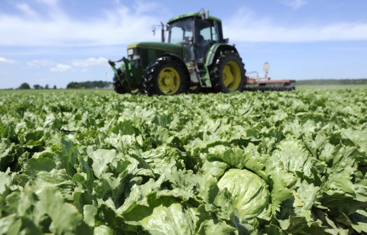 Lettuce are destroyed by a tractor in a field near Hamburg