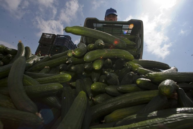 A farmer throws out a cucumber crop