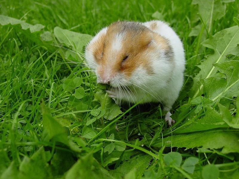 Smallest Hamster