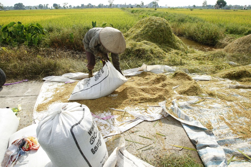 A farmer packs harvested rice into a sack near a paddy field in Ngoc Nu village, outside Hanoi June 10, 2011.