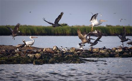Pelicans take flight near rocks blanketed with oil from the Deepwater Horizon oil spill on Queen Bess Island