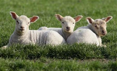 Triplet lambs bask in the sun