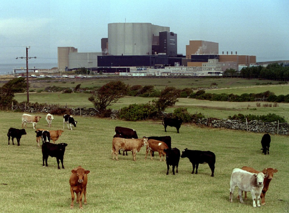 Cattle graze in front of British Nuclear Electric's Wylfa Magnox plant in Anglesey, Wales, September..