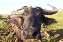 A water buffalo in the Philippines