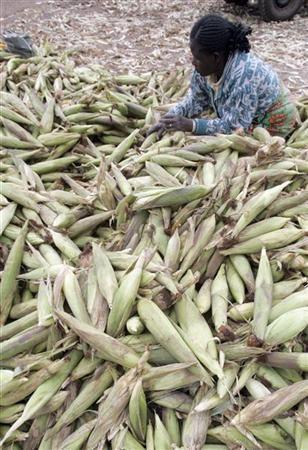 A woman sorts maize