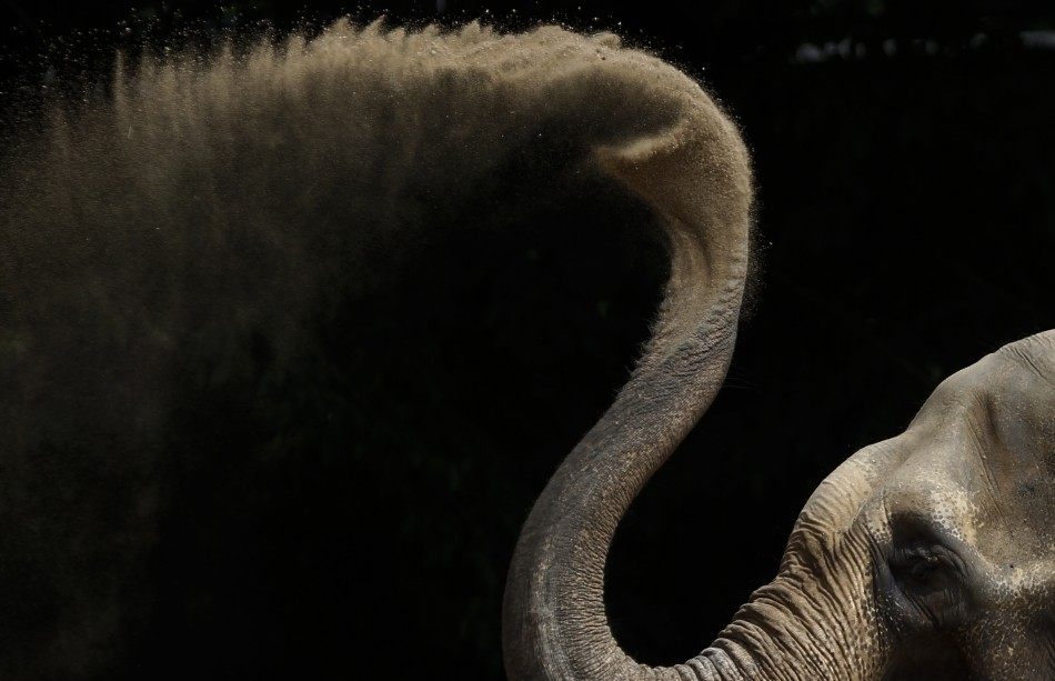Asian elephant dries off with some sand in his enclosure at the zoo in Karlsruhe