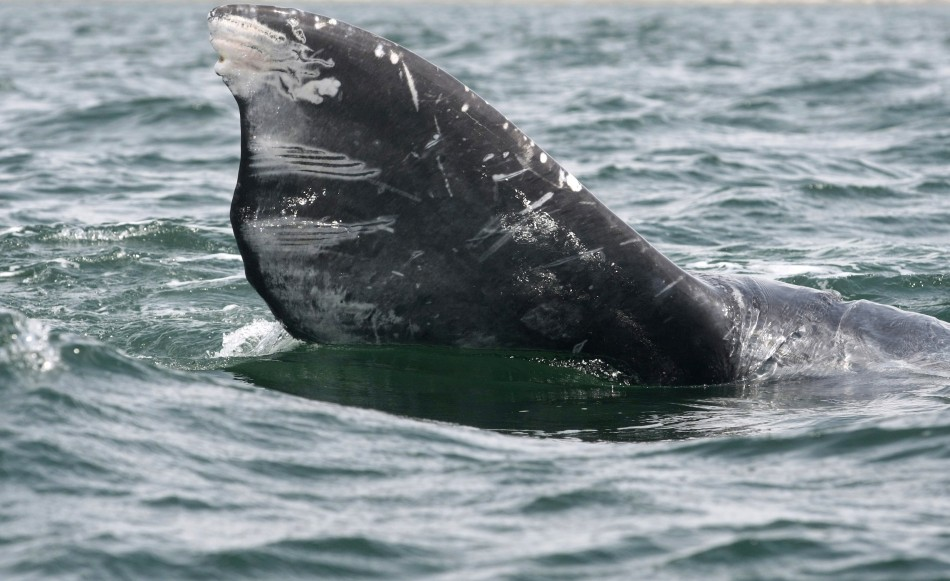 Part of a gray whale's tail is seen during a whale tour in the Laguna Ojo De Liebre
