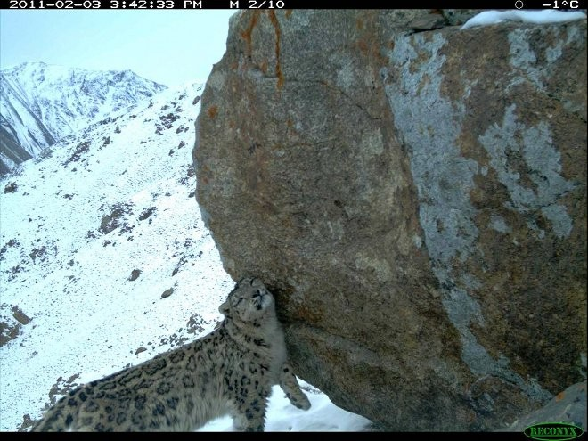 Snow Leopards in Afghanistan