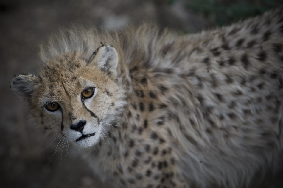 Two Cheetahs Mauled A Britain Women In South African Game Park