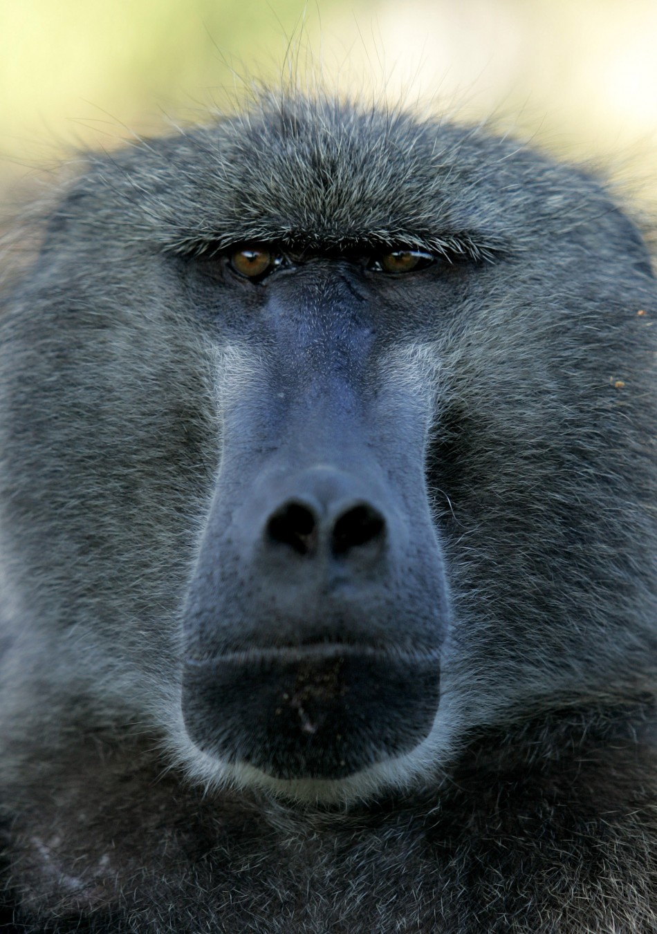 A male chacma baboon sits in the Cape peninsula outside Cape Town, South Africa