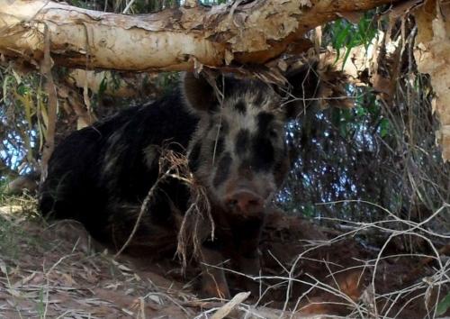 Swino the Australian beer stealing pig