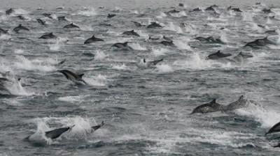 Dolphin mega pod