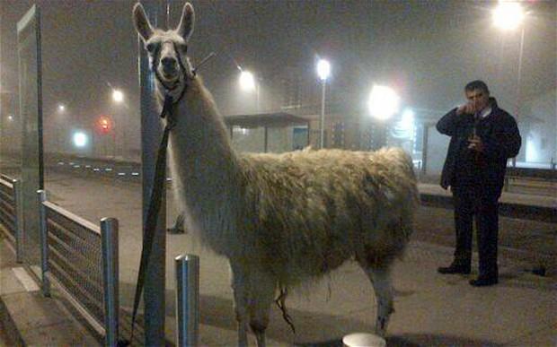 Drunk teens take Llama on tour of Bordeaux