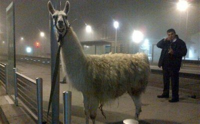 Drunk teens take Llama on tour of Bordeaux