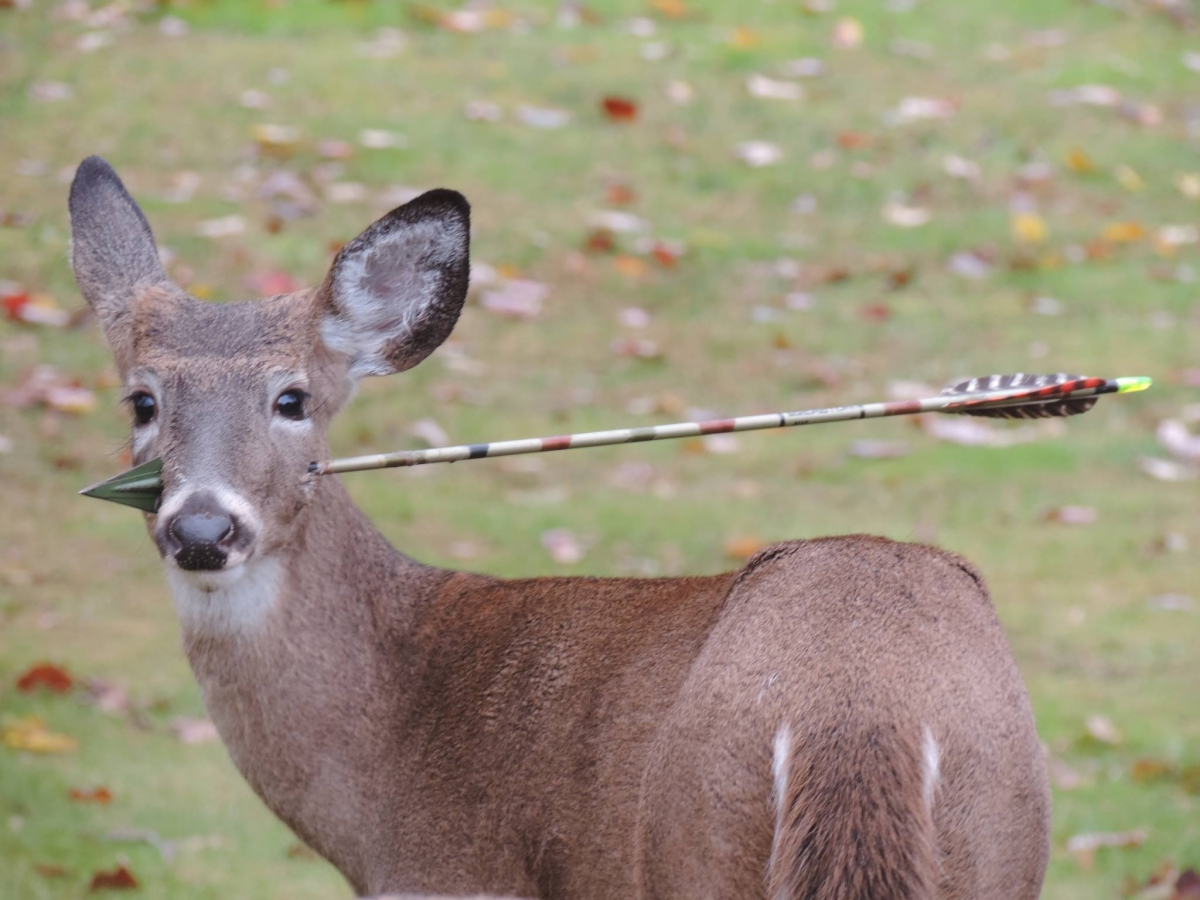 Deer with arrow through head