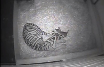 Baby tiger born at London zoo