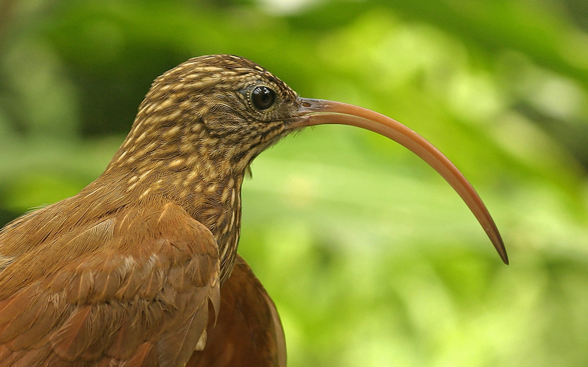 Red-billed Scythebill