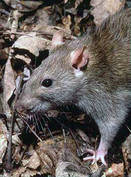 The Brown Rat (Rattus norvegicus)