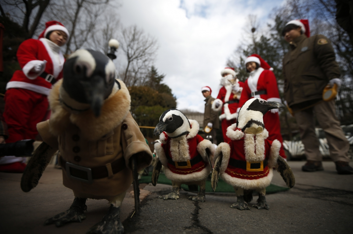 A Korean-style Christmas. Penguins wear Santa Claus costumes during an event for Christmas at an amusement park in Yongin, south of Seoul.