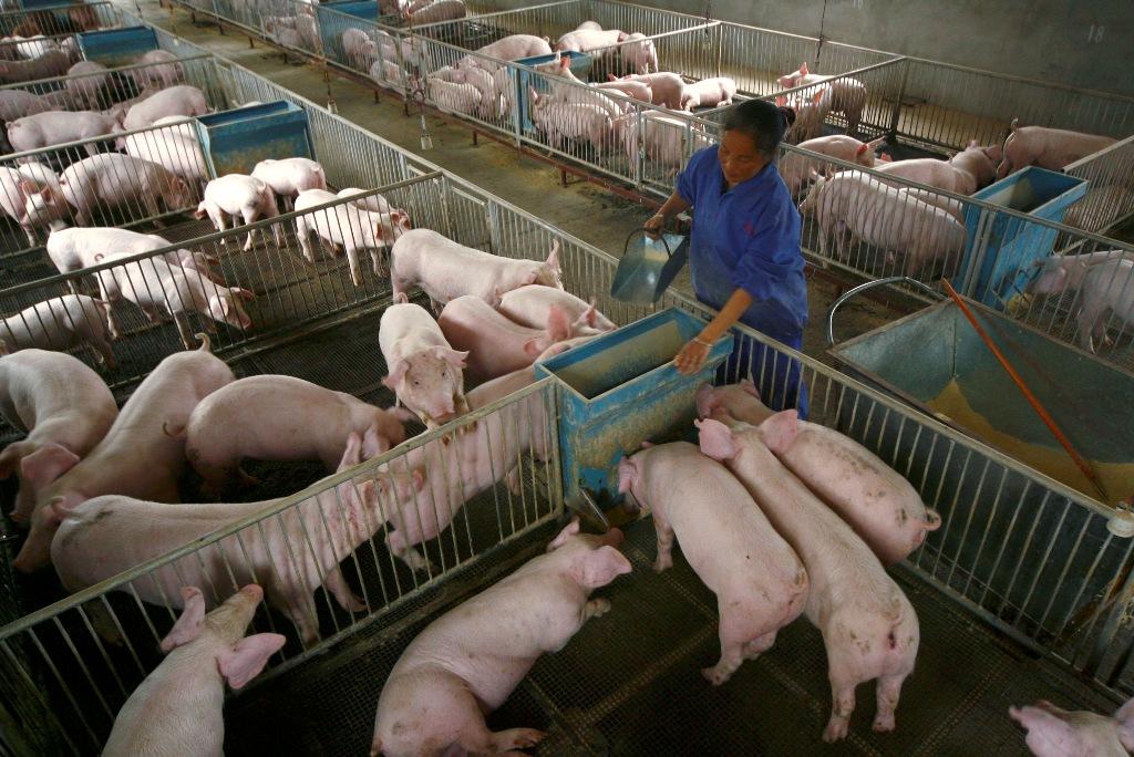 Hog Farm China