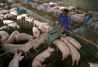 Hog Farm China