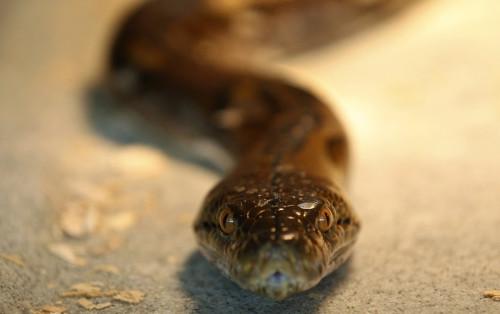 bali Python Kills