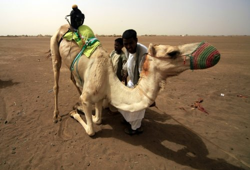 The Al Dhafra camel contest