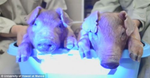 Glow-in-the-dark pigs created by injections of jellyfish DNA.