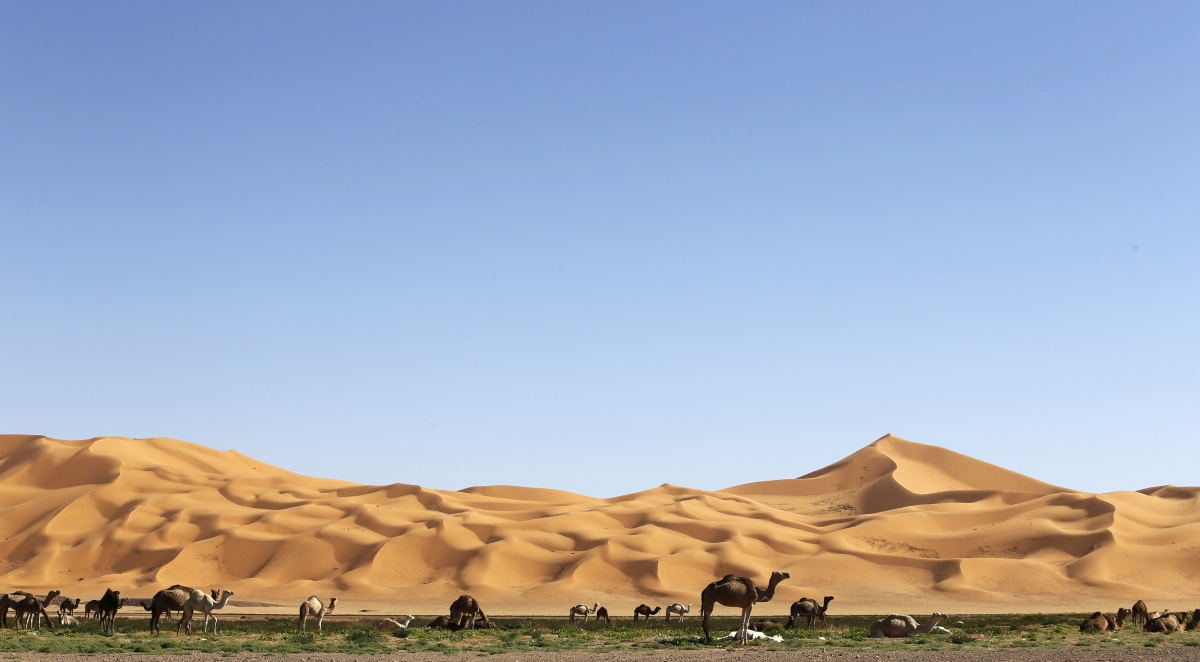 Camels graze in the desert during the 19th Ghat Festival of Culture and Tourism, in Ghat.