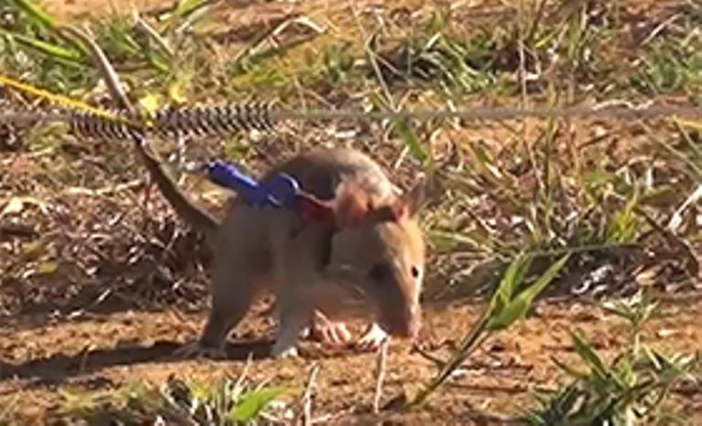 Hero rat in action