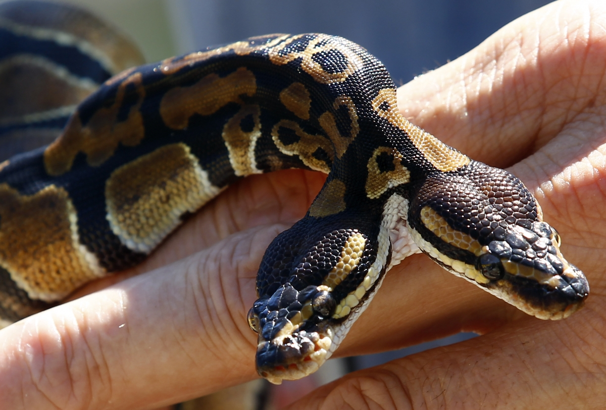 The Royal python was born with two spinal cords and two heads.