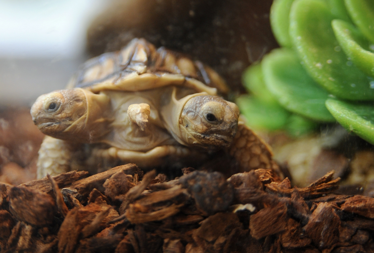 This African spurred tortoise (Geochelone sulcata) with two heads and five legs was born in Slovakia.
