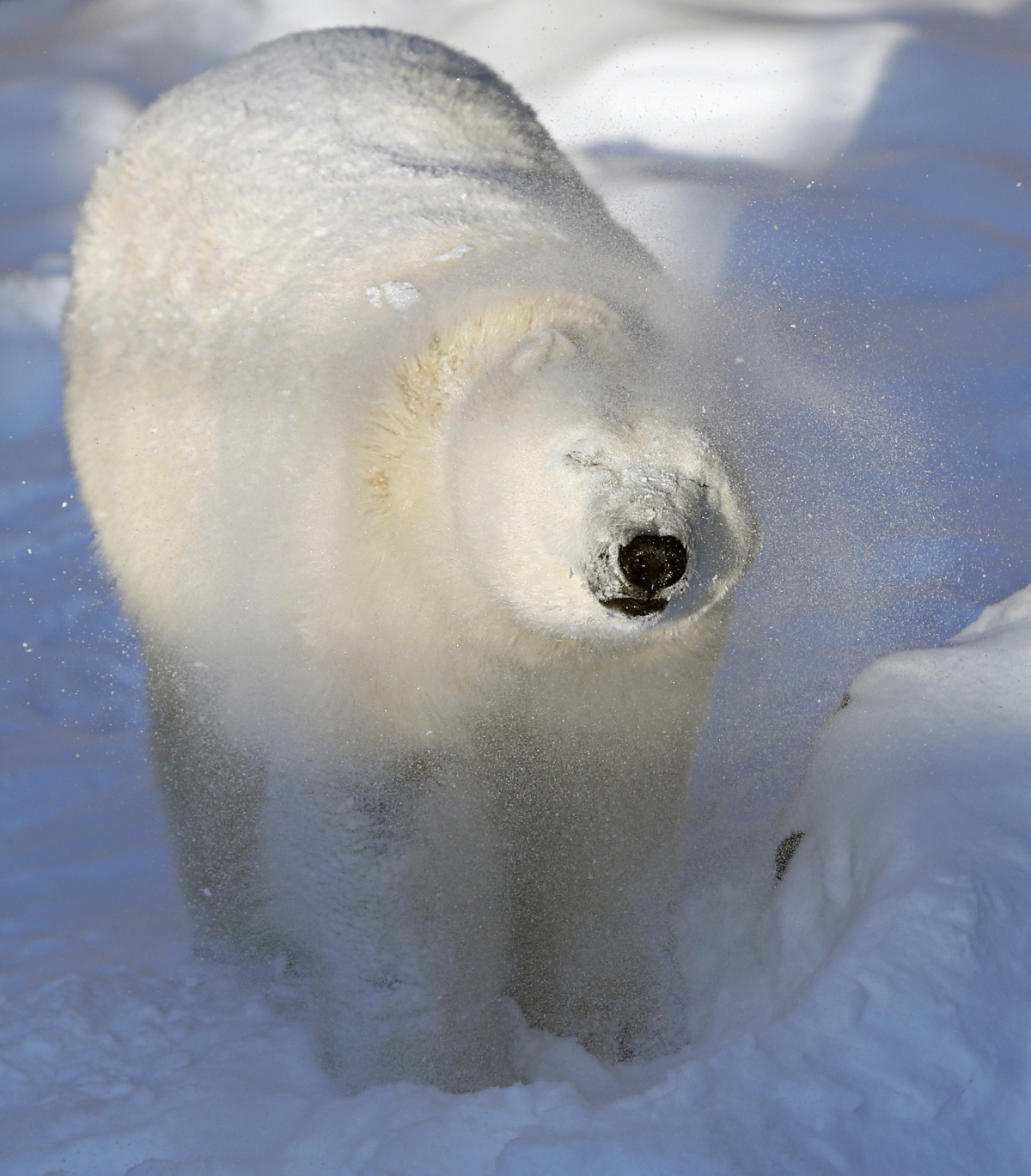 Taiga the polar bear shakes off snow from her body at the Quebec Aquarium in Quebec City, Canada.